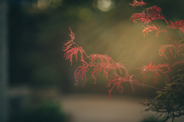 Japanese Maple in late afternoon light