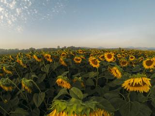 Sunflower field in dawn