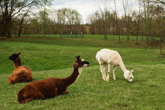 alpaca grazing on a farm