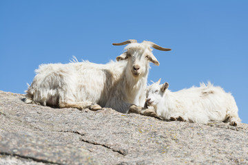 Mother goat and lamb lying on hill in Shinjang China