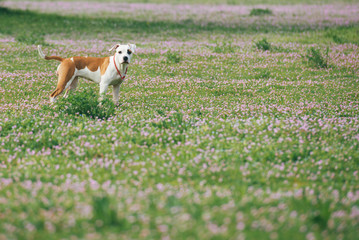 American Staffordshire Terrier in the Field With Flowers