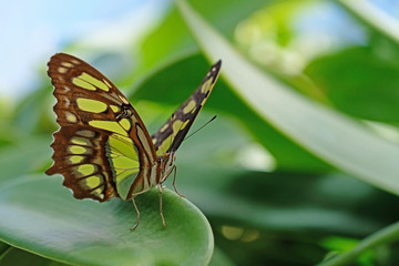 Malachite, siproeta stelenes, butterfly perched on leaf, Mainau Island