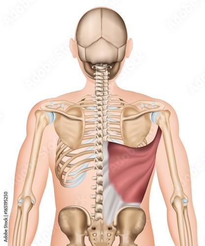 Anatomie Illustration Musculus latissimus dorsi\