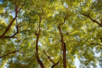 Natural background of green foliage and textured black branches of a tree . Bottom view.