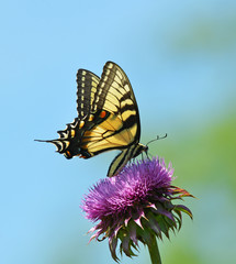 eastern tiger swallowtail sipping nectar from a thistle