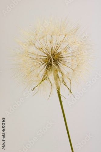 dry dandelion isolated, vertical