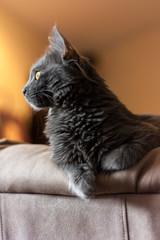 Gray Nebelung Kitten II