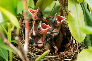 Three baby cardinals in the nest with mouths wide open
