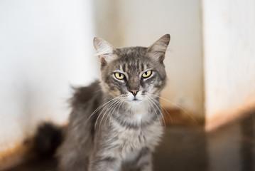 Gray cat looking forward