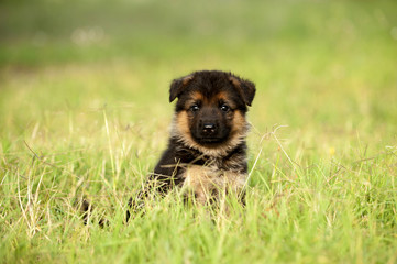 German shapherd puppy in grass