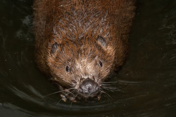 A european beaver smimming in a river