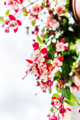 Macro closeup of hanging red and white fuchsia flowers