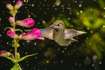 Hummingbird visits flowers in raining day