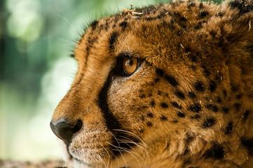 Taunting the cheetah