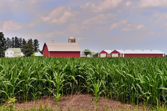 A maturing corn crop on an Illinois farm begins to obscure a farmhouse, barn, silos and other buildings. The scene is common in Illinois and the Midwestern United States where corn is a major crop.