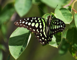 Close up of Black and Green Butterfly