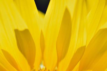 Macro texture of Sunflower petals in horizontal frame