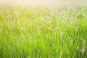 Spring or summer abstract nature blurred background with flower grass in the meadow