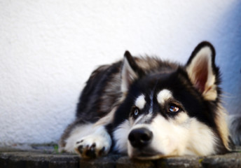 Tired Siberian Husky looking at someone with white wall in background