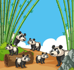 Many pandas in bamboo forest