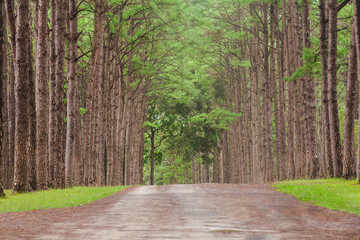Wall Murals Road in forest Beautiful landscape of Pine tree on tropical forest in the morning