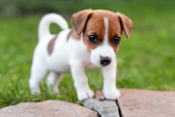 Jack russell dog on grass meadow. Little puppy walks in the park, summer