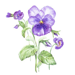 Illustration in watercolor of Pansy flower. Floral card with flowers. Botanical illustration.
