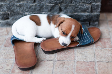 Jack Russel puppy sleeping on the shoes of its owner.