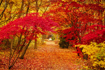 Poster Cuban Red Autumn park leaf background