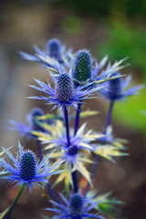 Sea Holly blue thistle Eryngium flowers growing in the garden