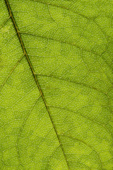 Green leaf texture, macro image