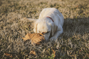 Labrador retriever with red collar laying on summer grass and exploring