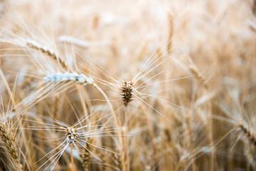 Wheat field in Central Russia.