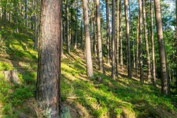 Warm summer coniferous forest in golden light