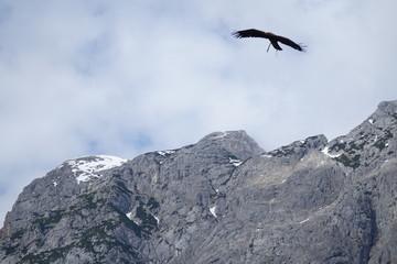 Aigle en vol (région de Werfen) 5
