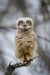 A Great-horned Owlet stares right at me while perched on a dead snag with its bright yellow eyes standing out.