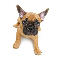Foto auf Gartenposter Französisch bulldog cute french bulldog puppy