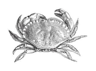 Edible crab (Cancer pagurus) - vintage illustration