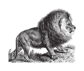 Cape Lion (Panthera leo melanochaitus) - vintage illustration