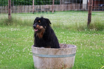 Briard In Einem Wasserfass Im Garten Buy This Stock Photo And