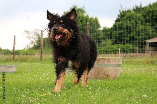 Briard In Einem Wasserfass Im Garten Stock Photo And Royalty Free