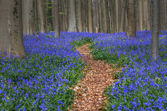 Hallerbos, beech forest in Halle, near Bruxelles, Belgium. Natural carpet full of blue bells flowers.