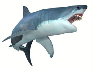 Dangerous Great White Shark - The Great White shark can live for 70 years and grow to be 21 feet long and live in coastal surface waters.