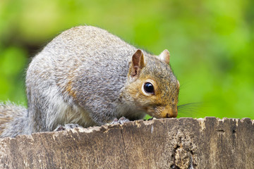 Side view, in close up, of a grey squirrel sitting on a tree stump feeding table cautiously sniffing at the food.