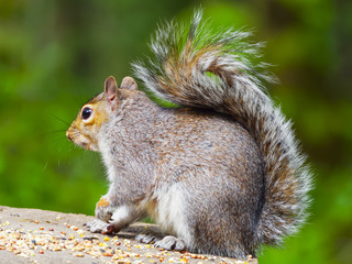 An alert grey squirrel, close up in profile, sitting on a feed table with one paw in the air.