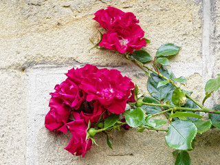 Blooming red climbing rose with a cream brick wall behind.