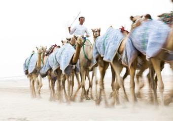 blurred image of running camels in Rub al Khali Desert at the Empty Quarter, in Abu Dhabi, UAE