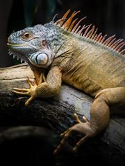 Grüner Leguan, Iguana iguana