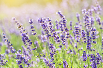 Lavender flower blooming scented field. Bright natural background with sunny reflection.