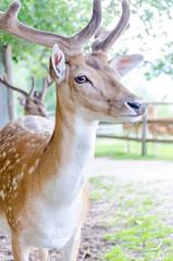 Spotted Deer with Velvet Horns